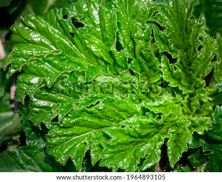 Strange curly plant. Green leaves background. weird sharp leaves Foto stock ©