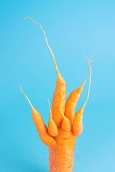 Strange funny shaped carrots on a blue background. Vegetable crops concept. Minimalism, copy space. Ugly carrot.