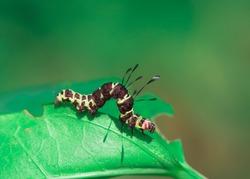 Strange looking caterpillar crawling on a leaf feeding