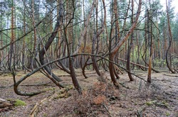 Strange oddly-shaped bent trees forest, curved trees, Crooked Forest