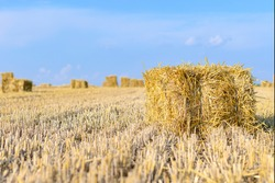 Straw bales on a wheat field