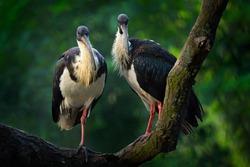 Straw-necked ibis, Threskiornis spinicollis, detail portrait bird from Australia. Bird in the nature habitat. Wildlife scene from nature. Bird with long bill near the water.  Pair, ibis love.
