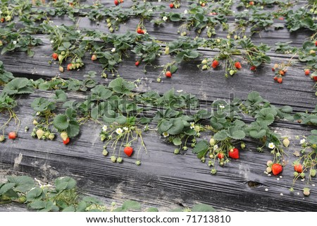 strawberries grown in the mulch plastic film