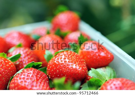 strawberries in a basket in the garden.