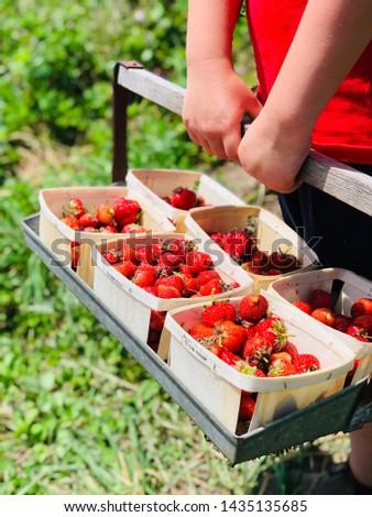 Strawberries picking boy holding harvested fruit boxes