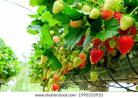 Strawberries plant. Red strawberries on the branches. Eco farm. Selective focus. Strawberry in greenhouse with high technology farming. Agricultural Greenhouse with hydroponic shelving system.