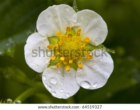 Strawberry blossom with morning dew