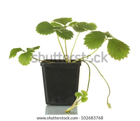 Strawberry bush in flowerpot isolated on white