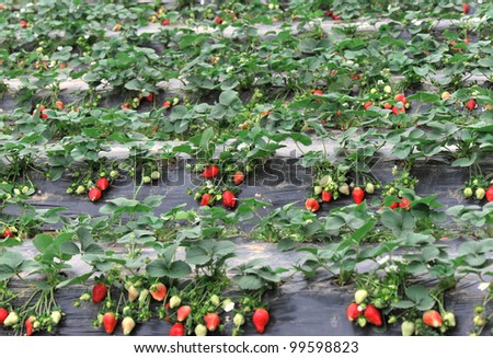 strawberry crops at field
