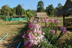 Strawberry Farm pinkflower thailand moutian tree nature background