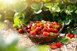 Strawberry field on fruit farm. Fresh ripe organic strawberry in white basket next to strawberries bed on pick your own berry plantation.