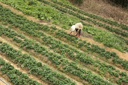 Strawberry garden from high angle. Farmer on harvesting strawberry in Dalat countryside