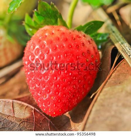 Strawberry Garden Gallery