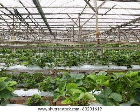 Strawberry Farm Malaysia Strawberry Greenhouse Farm in