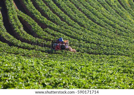 Strawberry growers collect berries and Strawberry fields in Chiangmai Thailand #590171714