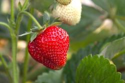 strawberry hanging on a Bush shot close-up