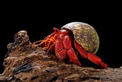 Strawberry Hermit crab with black background,