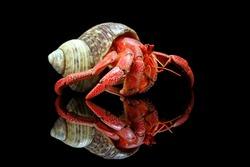 Strawberry hermit crabs with black background,
