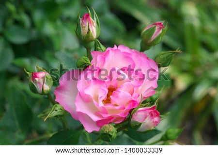 Strawberry ice rose or DELbard rose or DELcoussi rose or Bordure Rose  #1400033339