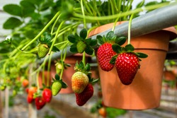 Strawberry in the pots, Cameron Highlands