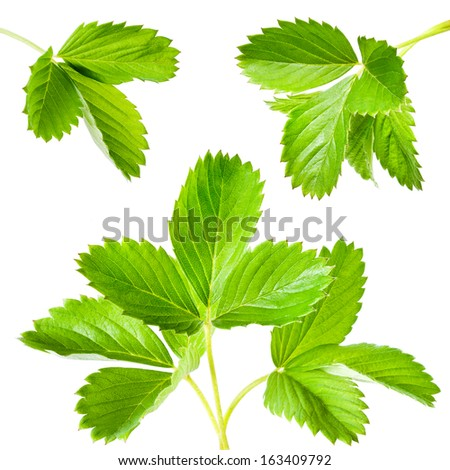 Strawberry leaves. Collection isolated on white