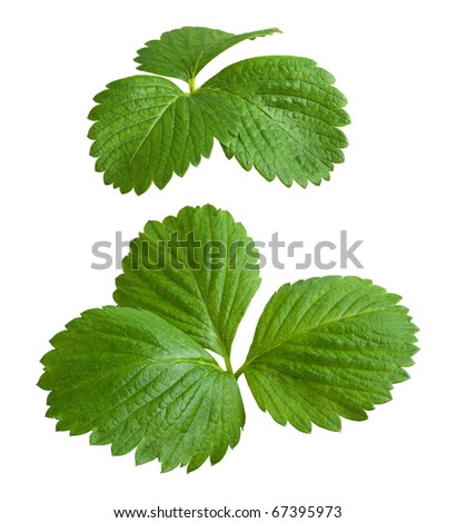 Strawberry Leaves isolated on a white background