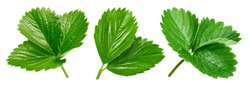 Strawberry leaves isolated on white background. Strawberry leaf Clipping Path