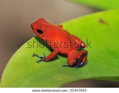 strawberry or blue jeans dart frog on green leaf ,selva verde, sarapiqui, costa rica