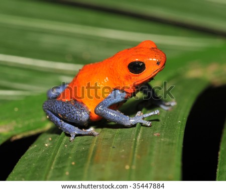 strawberry or blue jeans dart frog on green palm frond , drake bay, costa rica