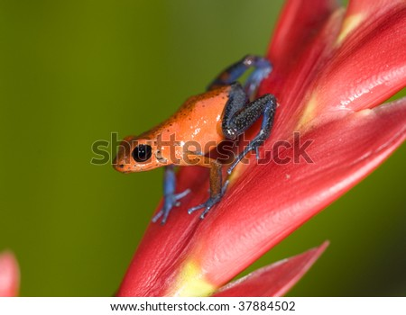 strawberry or blue jeans dart frog on red leaf , selva verde, sarapiqui, costa rica, deadly colorful toxic exotic amphibian in tropical jungle