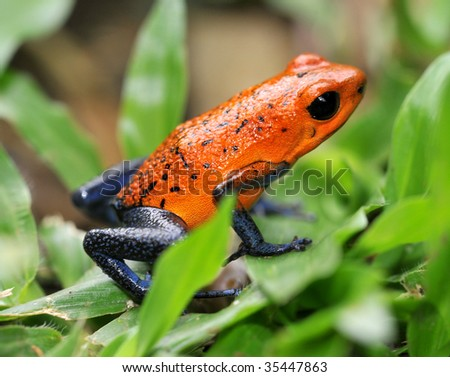 strawberry or blue jeans poison dart frog in green grass , selva verde, sarapiqui, costa rica, deadly colorful toxic exotic amphibian on tropical jungle floor