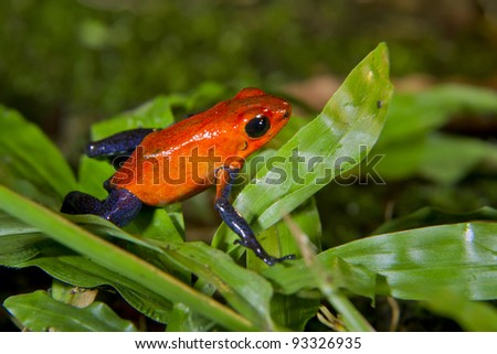 Strawberry or blue jeans poison dart frog (Oophaga pumilio, or Dendrobates pumilio) in Alajuela, Costa Rica.