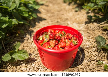 Strawberry Picking Fresh Picked Berries in Red Basket in Strawberries Field at Farm in Summer