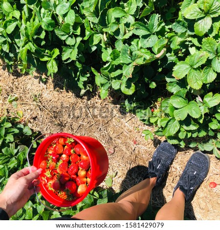 Strawberry Picking in Farm Field Woman Holding Basket of Fresh Picked Berries in Summer