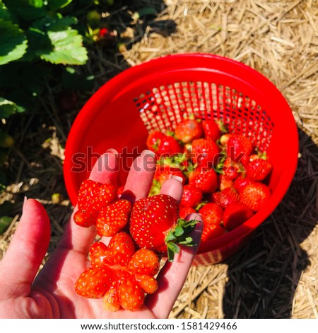 Strawberry Picking Woman Holding Fresh Picked Berries in Hand with Basket