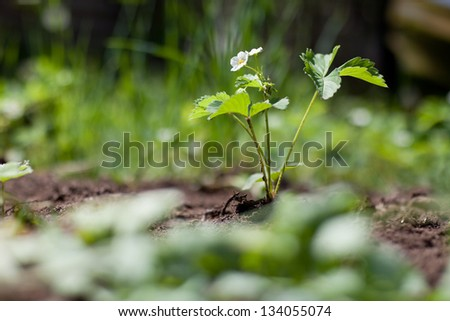 Strawberry plant in spring in soil stock photo 134055074 shutterstock - Plant strawberries spring ...