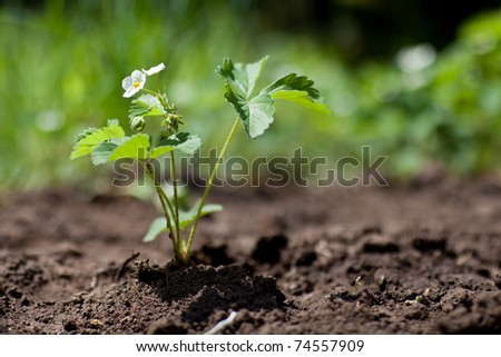Strawberry plant in spring in soil stock photo 74557909 shutterstock - Plant strawberries spring ...