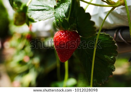 Strawberry plant. Stawberry bush. Strawberries in growth at garden. Ripe berries and foliage. Rows with strawberry plants. Fruit production. Smart agriculture, farm, technology concept. #1012028098