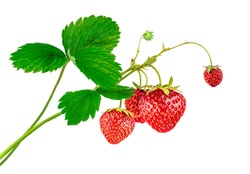 Strawberry plant with leaves and ripe red berries, isolated on white background.