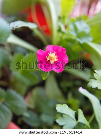 Free photos strawberry bloom flowering strawberry strawberry strawberry plant with purple pink flowers 1193611414 mightylinksfo