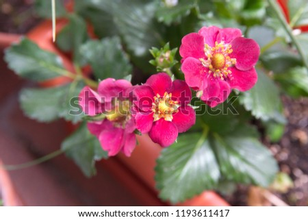 Free photos strawberry bloom flowering strawberry strawberry strawberry plant with purple pink flowers 1193611417 mightylinksfo