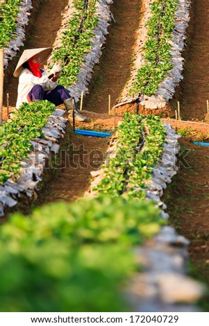 Strawberry Plants field on the Mountain