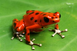 Strawberry Poison Dart Frog (Dendrobates pumilio), Bastimentos National Park, Bocas del Toro, Panama