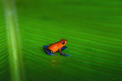 Strawberry poison dart frog, Dendrobates pumilio or Oophaga pumilio, also called Blue Jeans Frog, living in the tropical forest of Costa Rica