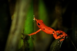 Strawberry poison-dart frog - Oophaga (Dendrobates) pumilio, small poison red dart frog found in Central America, from eastern central Nicaragua through Costa Rica and Panama. Rainforest animal in wet