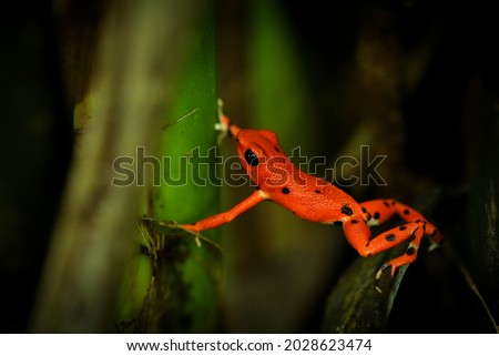 Strawberry poison-dart frog - Oophaga (Dendrobates) pumilio, small poison red dart frog found in Central America, from eastern central Nicaragua through Costa Rica and Panama. Stock foto ©