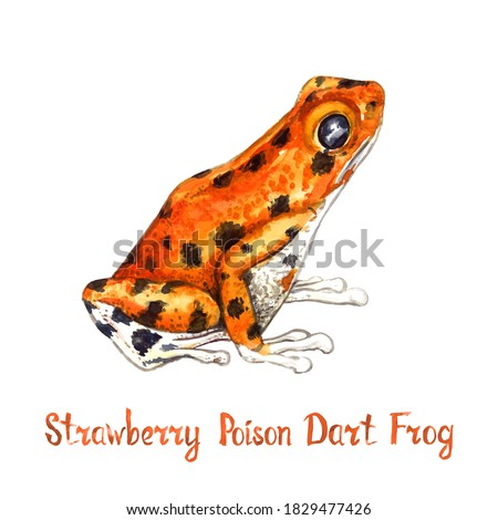Strawberry poison frog, strawberry poison-dart frog (Oophaga pumilio, Dendrobates pumilio)  isolated on white hand painted watercolor illustration with handwritten inscription Stock foto ©