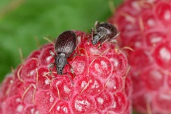 Strawberry root weevil - Otiorhynchus ovatus (latin name) in the raspberry fruit.  It is a species of weevils in the family Curculionidae and common and serious pest of many types of soft fruits.