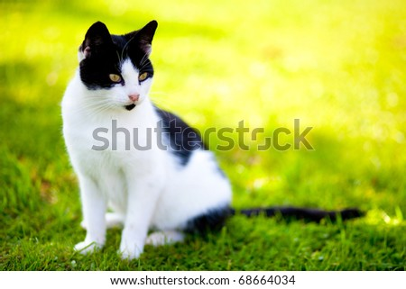 stray cat - felis catus - sitting on green grass and looking with intense