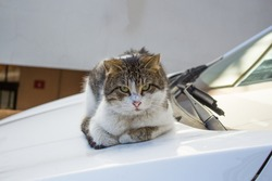 stray cat lying down  white car windscreen wipers hoods bonnet cats on street animals in city urban life street pets close up looking camera